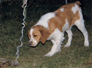 Cucciolo di épagneul breton in ferma