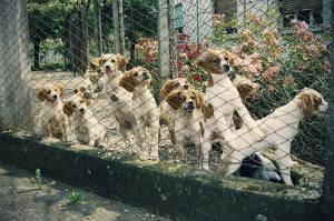 Cuccioli di épagneul breton di tre mesi